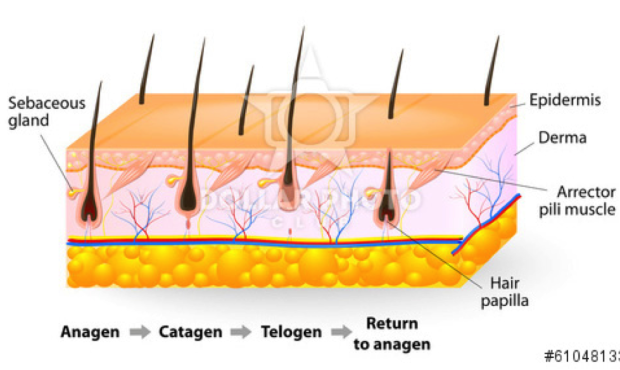 Wilmington Laser Hair Removal  U0026 Skin Clinic The Hair Growth Cycle  Why Laser Hair Removal